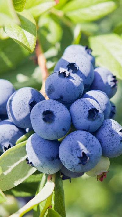 Blueberries Fresh Product Packaging